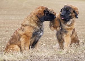 Dog - Leonberger - puppies playing