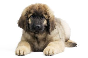 Dog - Leonberger. puppy laying down