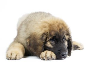 Dog - Leonberger - puppy laying down