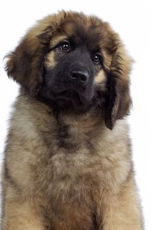 Dog - Leonberger. puppy - portrait