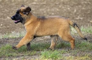 Dog - Leonberger - puppy running