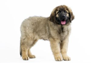 Dog - Leonberger - puppy standing - mouth open