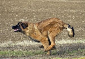 Dog - Leonberger - running