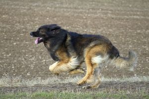 Dog - Leonberger. running