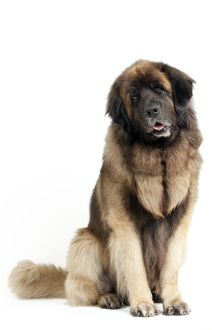 Dog - Leonberger. sitting - studio