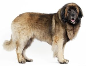 Dog - Leonberger. standing - studio
