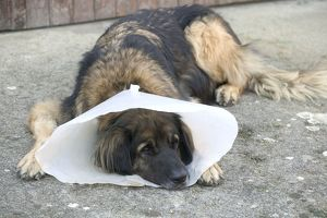 Dog - Leonberger - wearing Elizabethan / Surgical collar
