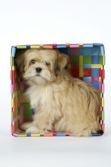 DOG - Lhasa Apso - 12 week old puppy in box