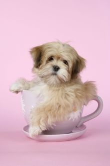DOG - Lhasa Apso - 12 week old puppy in tea cup