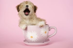 dog lhasa apso 12 week old puppy tea cup