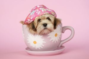 DOG - Lhasa Apso - 12 week old puppy in tea cup wearing hat