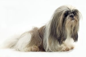 <b>Lhasa Apso</b><br>Selection of 183 items