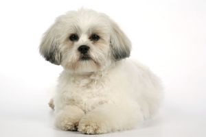 DOG - Lhasa Apso, in puppy cut, lying down
