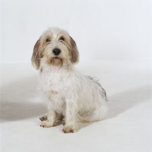 DOG - Lhasa Apso, in puppy cut, sitting