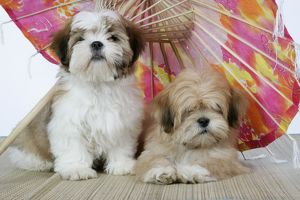 DOG - Lhasa Apso (right) & Shih Tzu puppies lying under a parasol