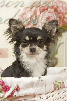 Dog - Long haired Chihuahua puppy