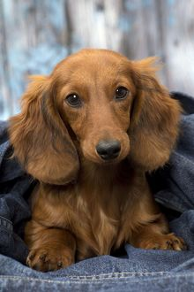 Dog Long Haired Dachshund puppy