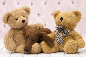 Dog Long Haired Dachshund puppy with teddy bears
