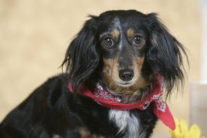 Dog - long-haired Dachshund / Teckel wearing scarf
