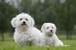 Dog - Maltese adult with puppy in garden