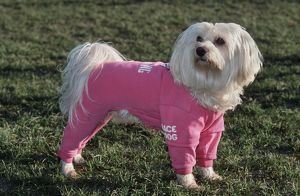 Dog - Maltese / Bichon Maltaise - wearing jogging suit clothing