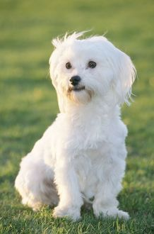 Dog - Maltese / Bichon Maltiase - Sitting upright, facing forward