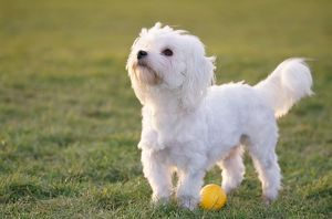 Dog - Maltese / Bichon Maltiase - side view, with ball