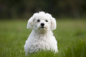 Dog - Maltese Dog - in garden