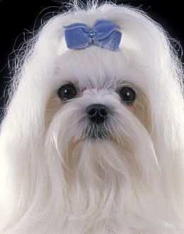 Dog - Maltese. Also known as Bichon Maltiase