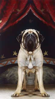 Dog - Mastiff in a circus.
