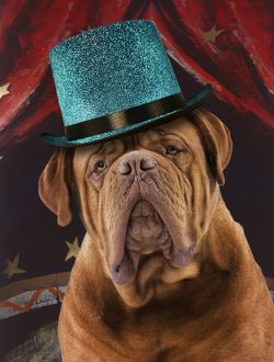 Dog - Mastiff in a circus
