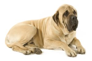 Dog - Mastiff - Lying down