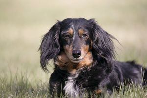 DOG - mature long-haired Dachshund / Teckel in field
