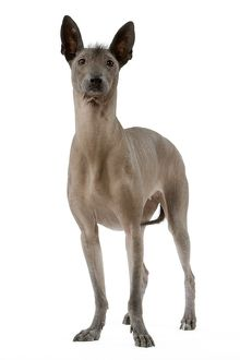 Dog - Mexican Hairless