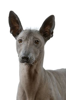 Dog - Mexican Hairless Dog