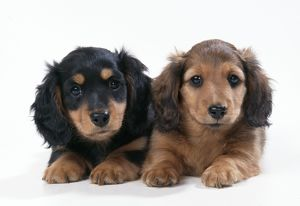 DOG - Minature long-haired dachshund / Teckel puppies