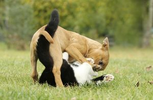 Dog - Miniature Bull Terrier - playing with Black & White Cat