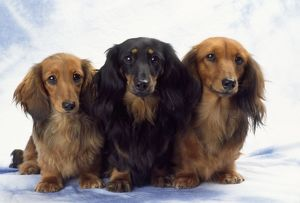 DOG - three Miniature Long Haired Dachshund