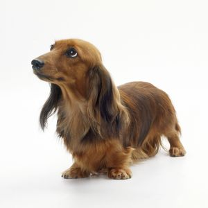 Dog - Miniature Long-Haired Dachshund
