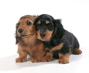 DOG - Miniature Long-Haired Dachshund / Teckel Puppies X2
