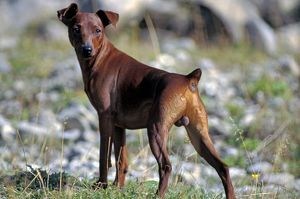 Dog - Miniature Miniature Pinscher - male standing