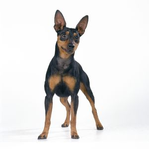 <b>Miniature Pinscher</b><br>Selection of 104 items