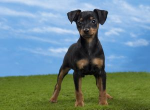 Dog - Miniature Pinscher Puppy