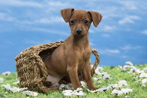 Dog - Miniature Pinscher Puppy - in basket