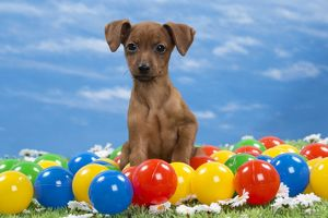 Dog - Miniature Pinscher Puppy - with coloured balls