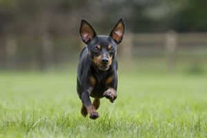 Dog - Miniature Pinscher running in garden