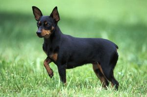 Dog - Miniature Pinscher standing alert in grass