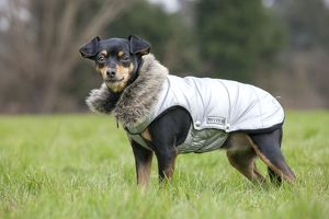 Dog - Miniature Pinscher wearing coat