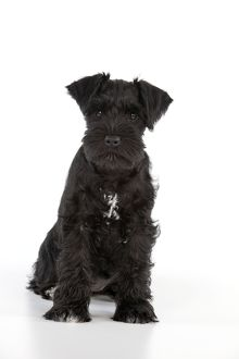 Dog - Miniature Schnauzer - 10 week old puppy - sitting down