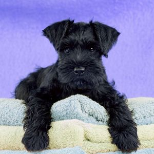 Dog - Miniature Schnauzer - 10 week old puppy - lying down on a pile of towels